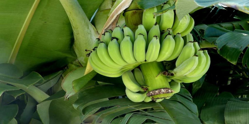 Raw Bananas Health Benefits in Hindi